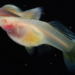 Glass Belly Guppy Pair