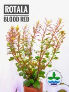 Rotala Blood Red – BUY 3 GET 1 FREE!