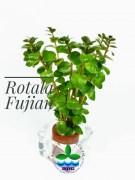 Rotala Fujian – BUY 3 GET 1 FREE!